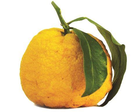 yuzu frucht original japan